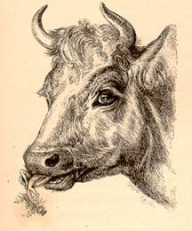 Here, mother, in the red cow's mouth
